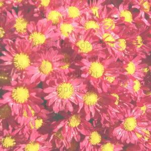 chrysanthemum scrapbook paper