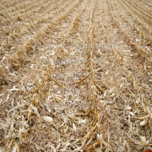 cornfield scrapbook paper