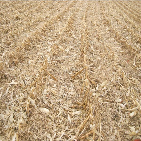 corn field scrapbook paper